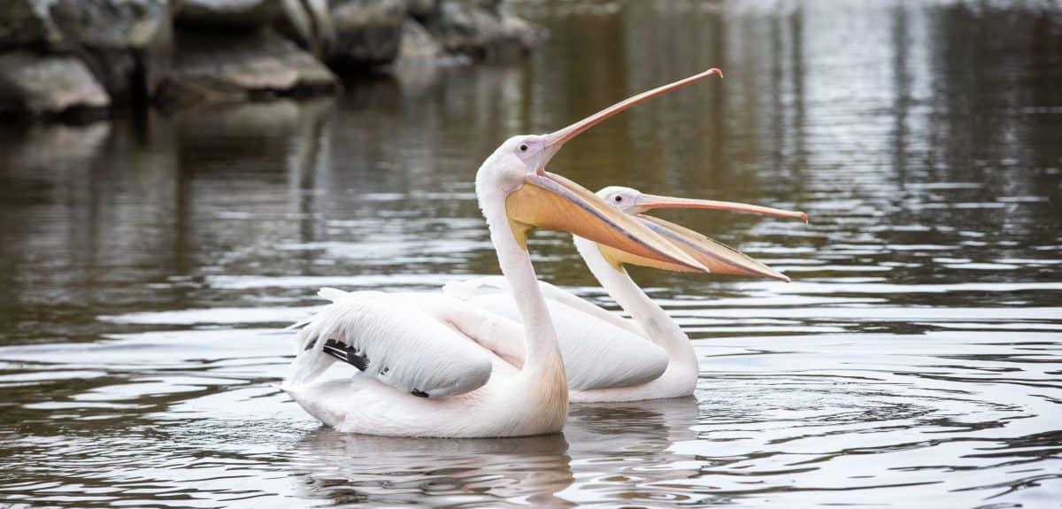 Pelican Fota