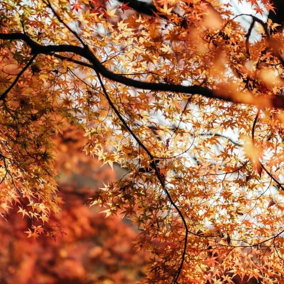 Autumn leaves in various shades of orange on branches of a tree