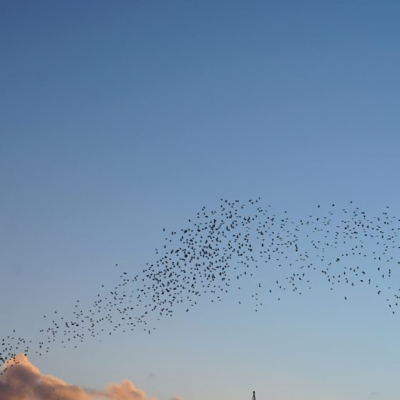 Battle of the Starlings